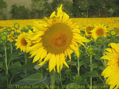 Sunflower_solo_2