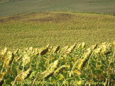 Sunflowers_6_field