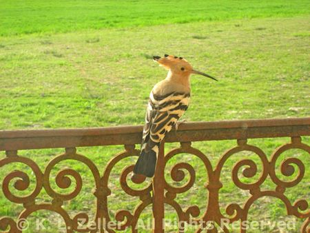 Hoopoe on balcony