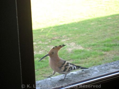 Hoopoe walking