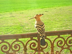 Hoopoe_balcony_left