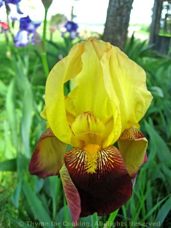 Yellow and Brown Iris
