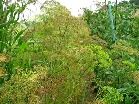 Dill_potager