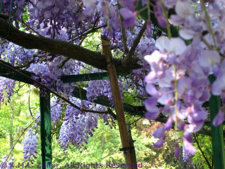 Wisteria at Giverny